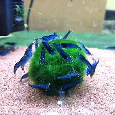 5 pc Marimo moss balls 10-15mm Aquarium plant fish tank