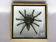 Echte, extra große Vogelspinne in einer Holzbox hinter Glas  3D Ansicht Spinne
