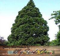 Giant Sequoia, Sequoiadendron giganteum Tree Seeds - FAST GROWING BONSAI TREE