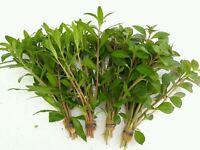 PLANTA DE ACUARIO: LOTE DE 4 PLANTAS PROCERPINACA Y LUDWIGIA envío gratis