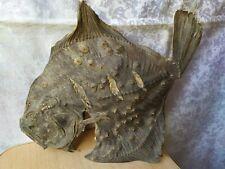 Vintage Taxidermy hunting taxidermie fish Fluke Flounder flatfish
