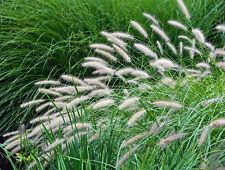 FOUNTAIN GRASS 200 SEEDS, ORNAMENTAL GRASS, PENNISETUM ALOPECUROIDES,