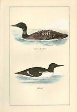 VINTAGE BIRD PRINT ~ GREAT NORTHERN DIVER & GUILLEMOT ~