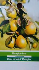4'-5' MOONGLOW PEAR Tree Natural Fruit Plants Healthy Trees Pears Plant Garden