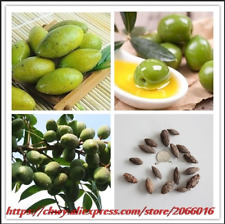 2 PCS Seeds Mini Garden Olive Tree Bonsai Edible Fruit And Vegetable NEW 2018 Q