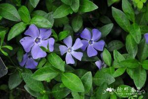 50 Periwinkle Vinca Minor Perennial Evergreen Ground Cover Spring Flowers USA