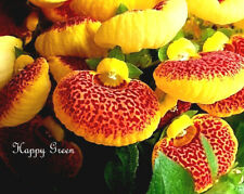 SLIPPER FLOWER MIX - 100 SEEDS - Calceolaria Herbeohybrida F2 Fascination nana
