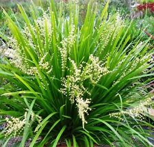 MAT RUSH Lomandra hystrix native perennial grass plant in 140mm pot