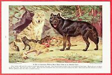 1944 Dog Print Illustration~American Wolf Wolves Rearing Cubs~by Walter A. Weber