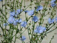 50 Chicory Cichorium Intybus Flower Seeds Rare Wildflower in Home Garden Plants