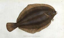SMEAR DAB, Donovan original antique hand coloured FISH print 1803