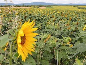 Gestreifte Sonnenblumenkerne 25 kg Vogelfutter Winterstreufutter Heinrichs Agrar