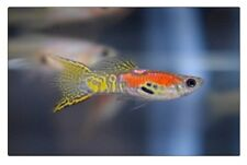 True Breeding Pair of Magenta Snakeskin Double Sword Guppy (Show, Livebearer)