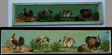 Ancienne plaque verre magic lanterne magique photo fin XIX° animaux coq cygne ..