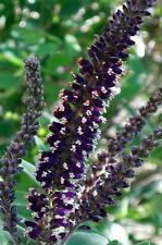 False Indigo Bush large shrub purple flowering butterfly blooms LIVE PLANT