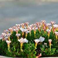 Oxalis versicolor Blumensamen 100 Stück weltweit seltene für den N4N7 hei B I5T5