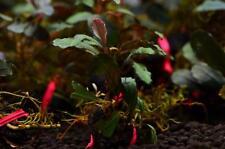 Bucephalandra Brownie Series Collection (6 plants) RARE Aquatic Plant