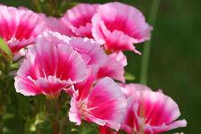 80 graines de FLEUR DE SATIN ROSE(Godetia Amoena)X273 SEEDS SAMEN SEMI SEMENTES