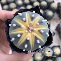 Astrophytum asterias cactus Succulent plants potted Plants Home Garden Bonsai
