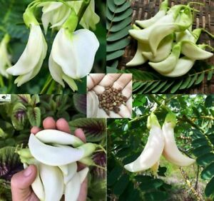 Sesbania Grandiflora Sesban Agasta Seeds Best White Vegetable Humming Bird seeds
