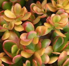 HUMMELS SUNSET Crassula argentea winter white flowers succulent plant 70mm pot