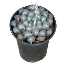 CG: Haworthia obtusa cv. OB-1 Succulents Echveria Lithops Aeonium Crassula Cacti