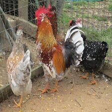 18 RARE Swedish Flower Hen Chicken Incubator Hatching Eggs