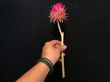 Cabinet de curiosités Fleur d'artichaut Cynara scolymus seche d'Afrique du sud!