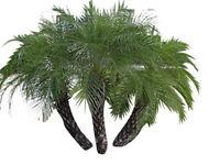 100 Samen Zwergdattelpalme   -Phoenix roebelinii-