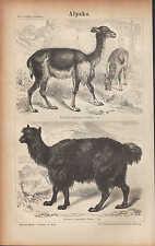 Litografía 1874: alpako. camello dromedario trampeltier lama alpaca guanaco vicuna