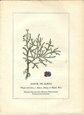 Stampa antica PIANTE DELLA BIBBIA ALGUM Tetraclinis Thuja 1842 Old antique print