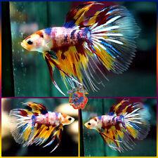 New listing Live Betta Fish Male Babyboy Hybrid 6-Color Candy Dragon Koi Crowntail Halfmoon