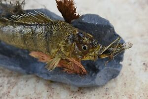 "Stuffed 10"" Perch w/ trophy insect Grasshopper Taxidermy Fish"