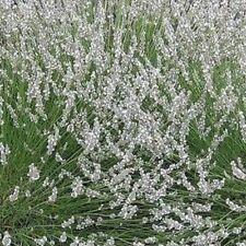 Pack x6 White Lavender Angustifolia 'Edelweiss' Perennial Flowering Plug Plants