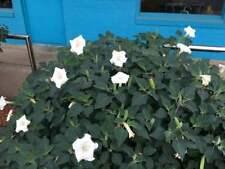 Datura Angel Trumpet Moon flower White, 200 seeds Fragrent blooms