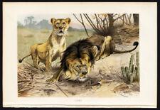 Antique Print-LION-LIONESS-CAT-CROUCHING-Kuhnert-Brehm-1890