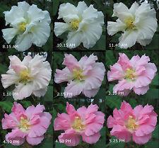 Confederate Rose (Hibiscus mutabilis) Cotton Rosemallow Color Changing Blooms