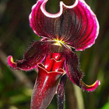 Paphiopedilum Orchid Flowers Seeds for Home Garden UK STOCK