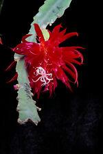 Epicactushybride, Epiphyllum, Blattkaktus Pflanze 'Ruby Snowflake '