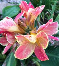 Canna Lily SWEET GYPSY Yellow Pink Plant Rhizome Bulb Plant Tropical Foliage