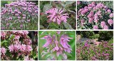 Pink Monardo Bee Balm Herb Plant       25  Seeds