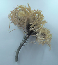 Stalked Crinoid Japanese Sea Lily Metacrinus rotundus Oddities Curios