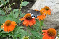 Sombrero Flamenco Orange Coneflower Echinacea Perennial 30+ Seeds Butterflies!