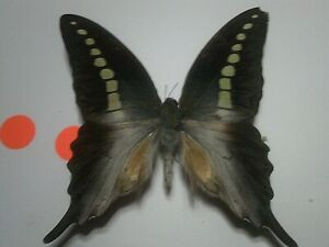Real Insect/Butterfly/Moth Set Spread B7248 Large Graphium codrus codrus