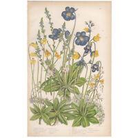 Anne Pratt antique 1860 botanical print Flowering Plants Pl 167 Butterwort