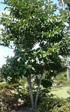 "Sweetbay Magnolia Tree 12""-18"" Hardy Established Roots 4"" Potted Tree 6 Plants"