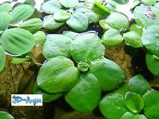 Live Aquarium Floating Plants. Amazon Frogbit (Limnobium laevigatum)