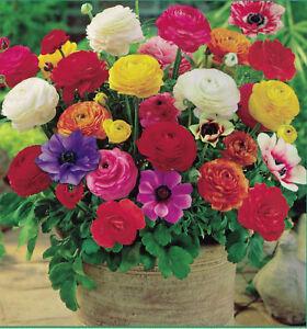 20 BULBS FREESIA RANUNCULUS MIX ANEMONE DE SPRING SUMMER FLOWER PERENNIAL