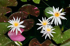 Live Arc-En-Ciel Water lily Aquatic Plant