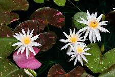 Live Arc-En-Ciel White Flower Water lily Aquatic Plant